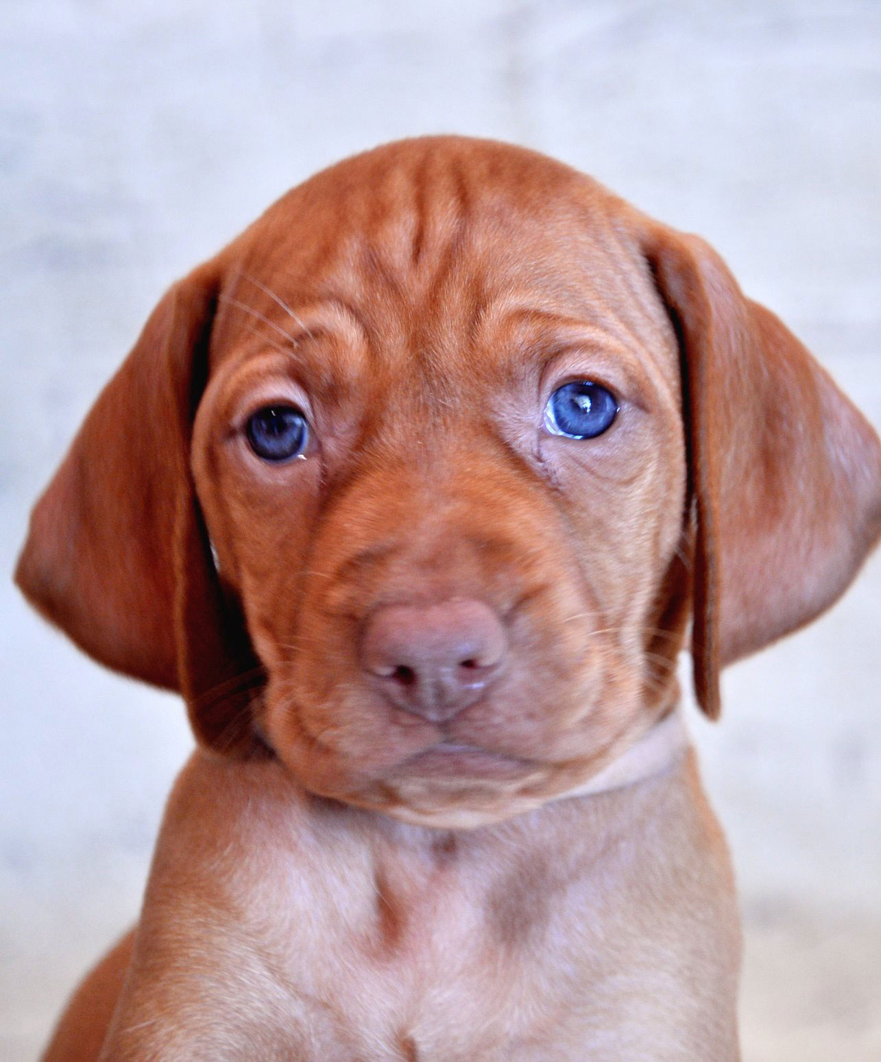 vizsla dog price