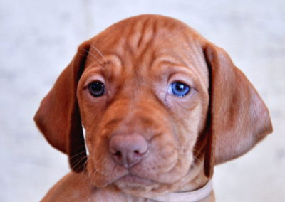 Vizsla Puppies (106)