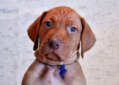 Vizsla Puppies (123)