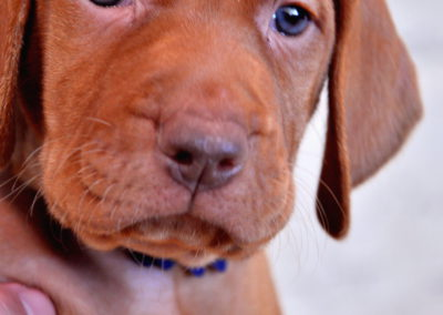 Vizsla Puppies (150)