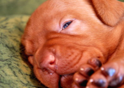 Vizsla Puppies (209)