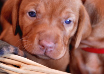 Vizsla Puppies (24)
