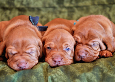 Vizsla Puppies (55)