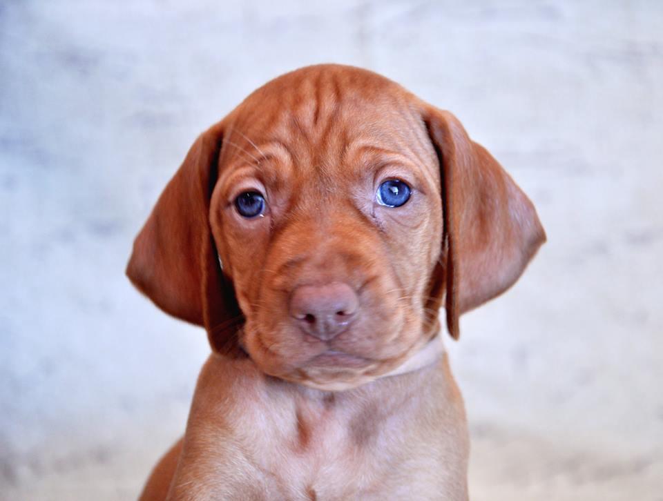 Vizsla Puppies for Sale Missouri USA